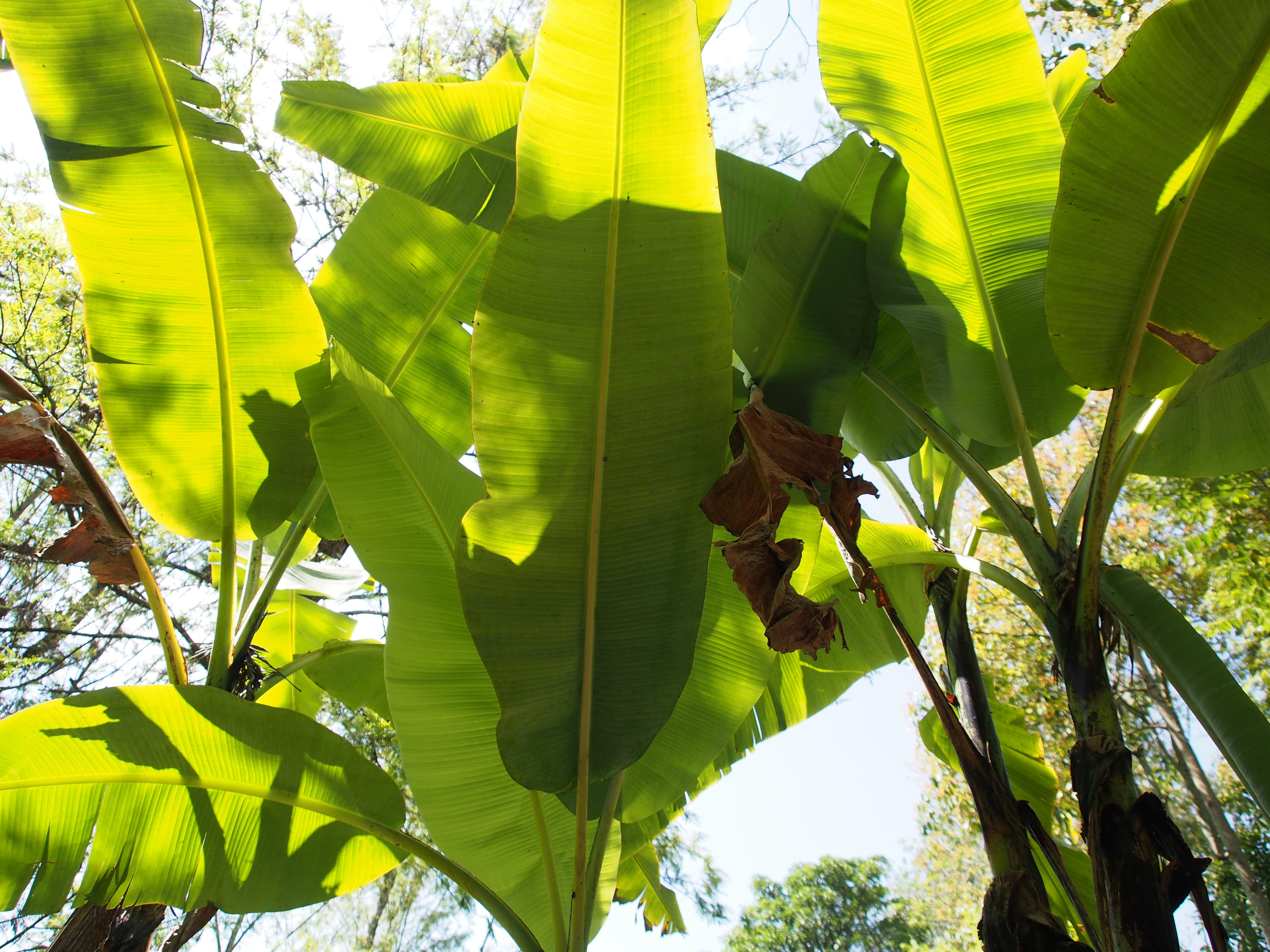 Banaanipuiden katveessa