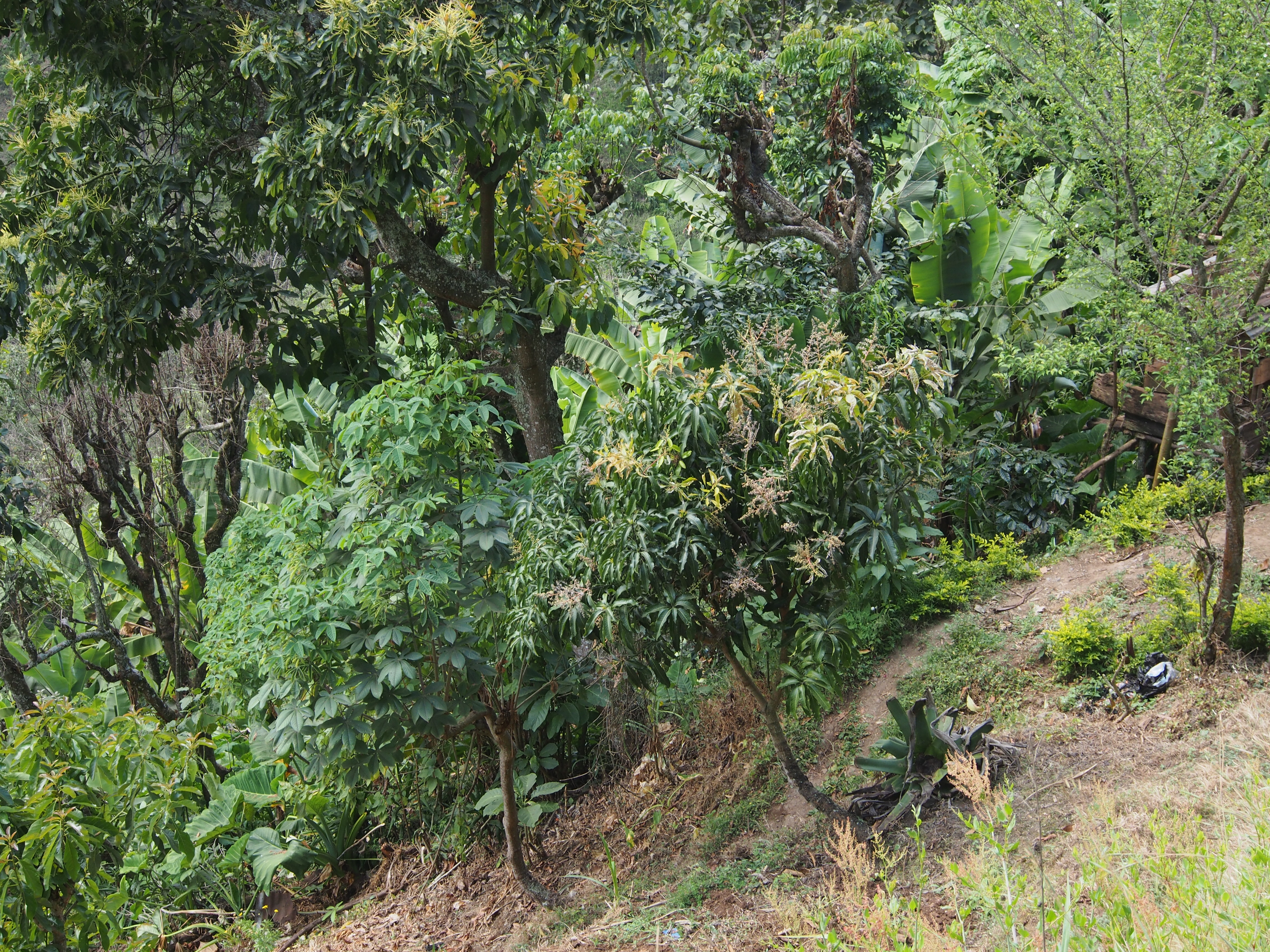 Oikean puoleinen puu on mangopuu. Sesonki alkaa marras-joulukuussa. Näin korkealla menestyy kuulemma muutenkin tosi huonosti mangot.